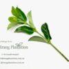 Glossy Viburnum – Viburnum Emerald Lustre (40cm)