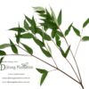 Eucalyptus - spear leaf