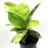 Pot Plant - Rubber Plant Cream and Green