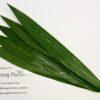 Gymea Leaf – Doryanthes Excelsor (120cm)