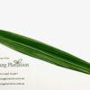 Gymea Leaf – Doryanthes Excelsor (90cm)