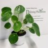 Chinese Money Plant - Pilea Peperomiodes - 100mm